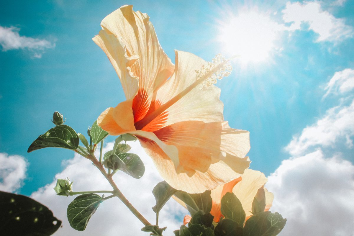 photography-of-yellow-hibiscus-under-sunlight